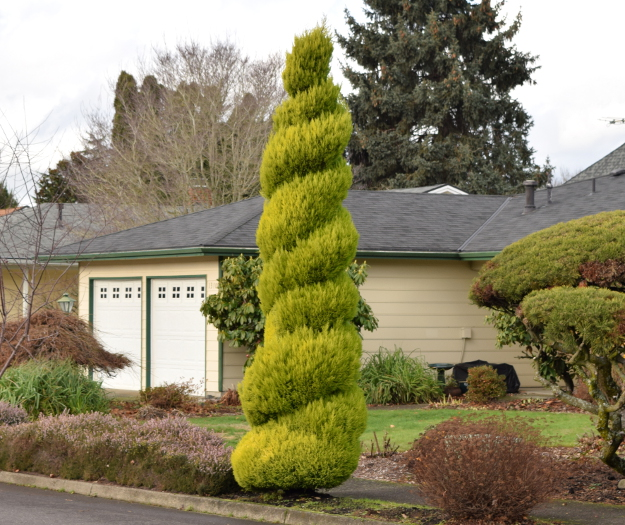 topiary cupressus spiral x121915 143