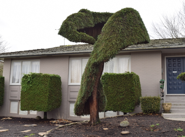 topiary sequoiadendron carpet remnant x122015 104
