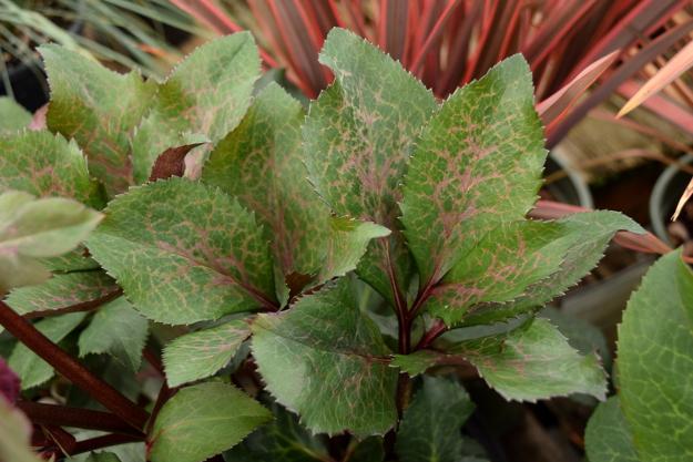 helleborus anna's red leaves 021516 055