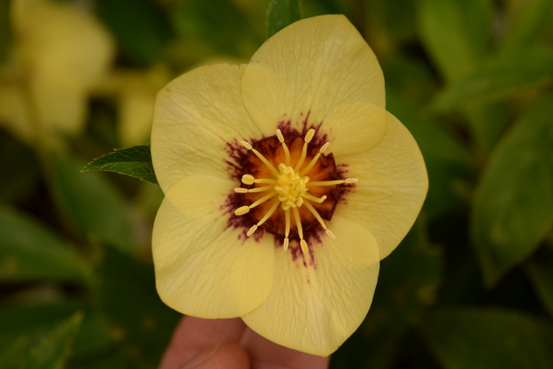 helleborus golden sunrise winter jewels 021616 075