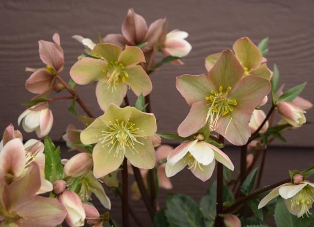 helleborus sparkle hgc gold collection 021516 162