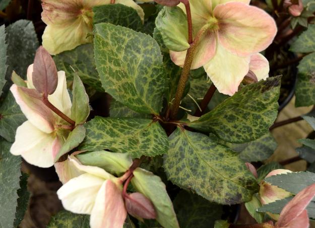helleborus winter moonbeam leaves 021516 091