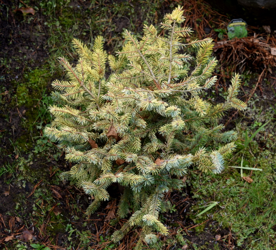 the golden spruce oregon garden 011516 217