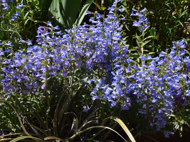 Penstemon_Electric_Blue_053015_126_AC