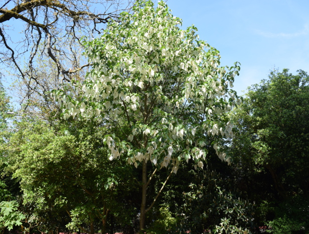 davidia involucrata dove tree at edgefield 041916 034
