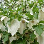 Dove Trees in Bloom (Davidia involucrata)