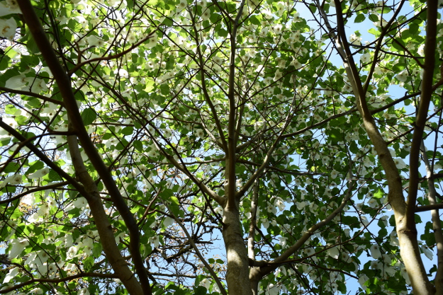 davidia involucrata dove tree branching structure 041916 060