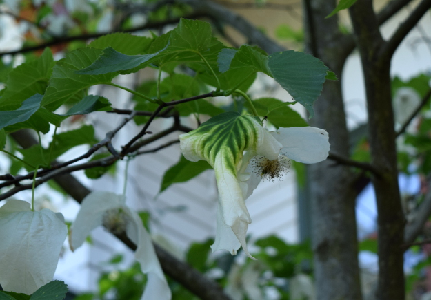 davidia involucrata dove tree green bract 041916 038