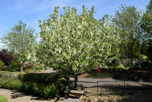 davidia involucrata dove tree whole tree 041816 165