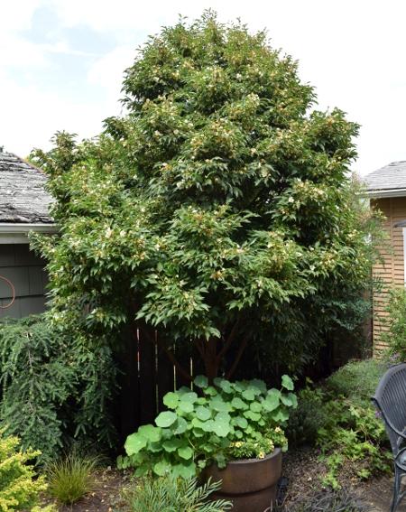 ANLD garden tour mauch stewartia monadelpha 060816 268