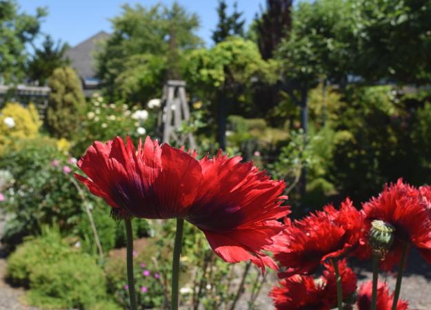 garden conservancy formal garden poppies 060516