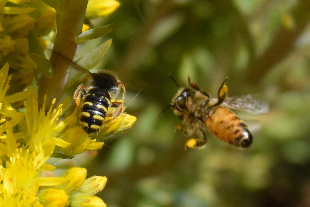 european wool carder bee anthidium manicatum attacks honey bee 4 (3)