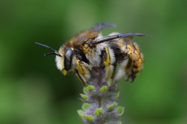 european wool carder bee anthidium manicatum docile in the morning 36 (3)