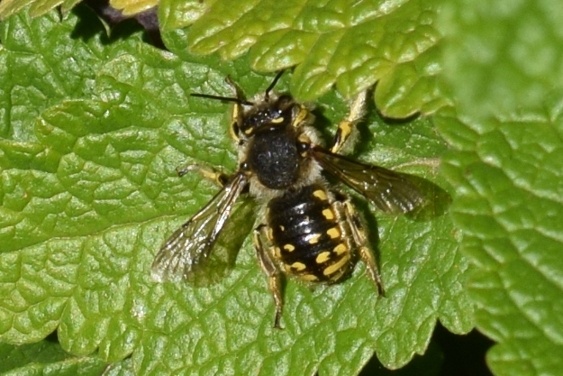 european wool carder bee anthidium manicatum from top 81 (2)