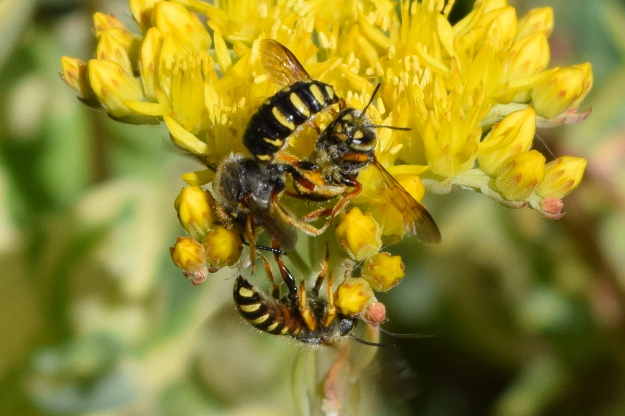 european wool carder bee anthidium manicatum love triangle 181 (1)