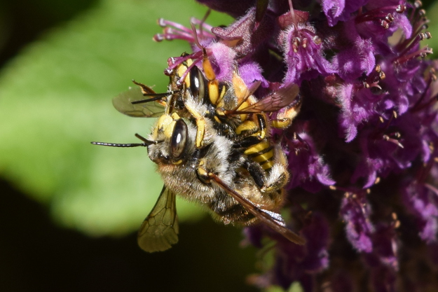 european wool carder bee anthidium manicatum mating 175 (2)
