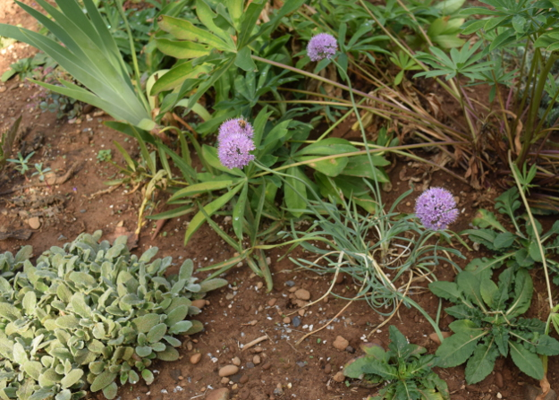 drought-plants-allium-senescens-glaucum-090716-21