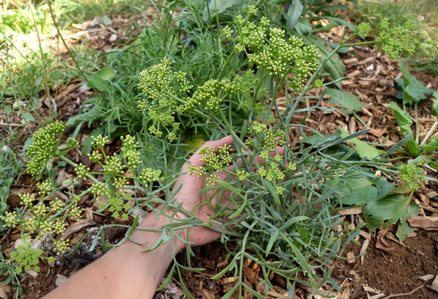 drought-plants-crithnum-maritimum-090716-8