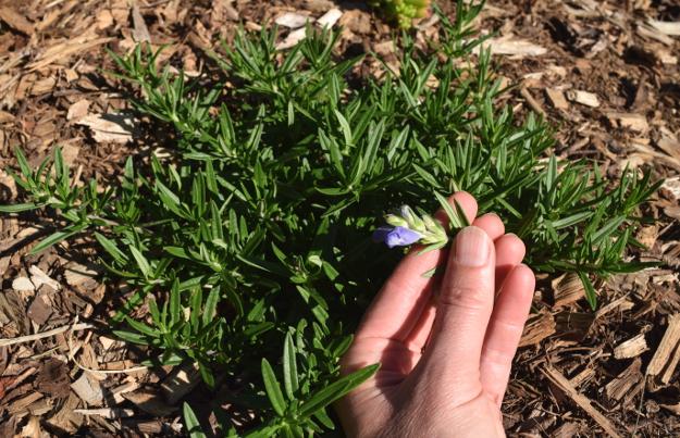 drought-plants-dracocephalum-argunense-090716-3
