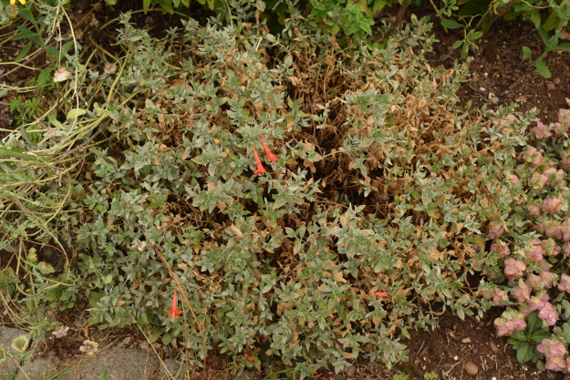 drought-plants-epilobium-090716-65