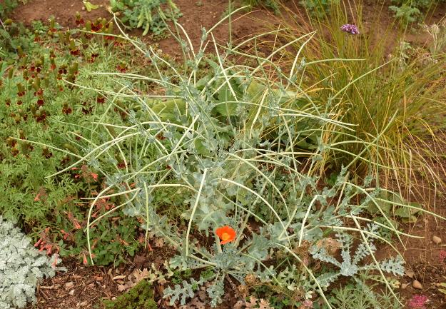 drought-plants-glaucium-flavum-aurantiacum-090716-54