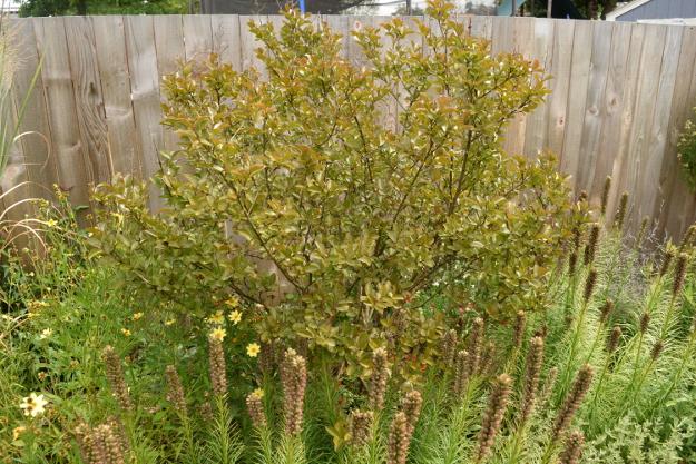 drought-plants-lagerstroemia-liatris-090716-87