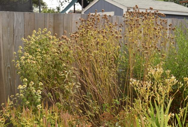 drought-plants-monarda-fistulosa-090716-94
