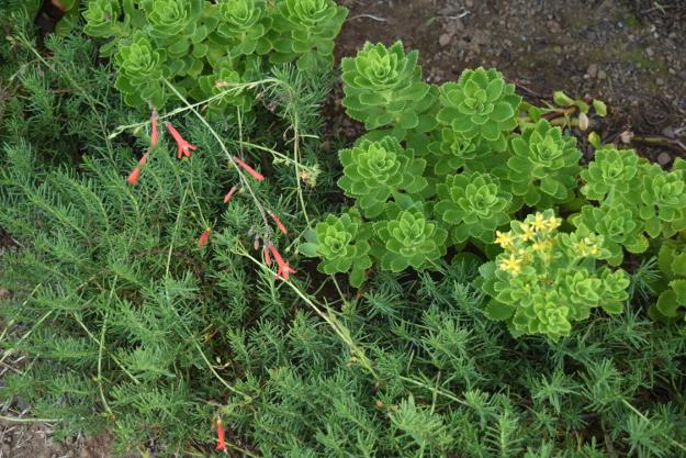 drought-plants-sedum-takesimense-090716-58