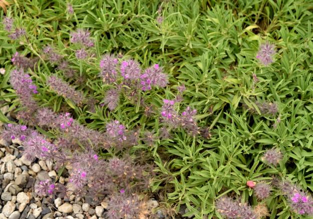 drought-plants-stachys-lavandulifolia-flowers-061116-54