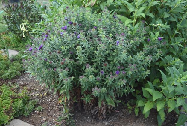 drought-plants-symphyotrichum-purple-dome-090716-30