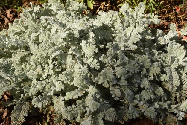 drought-plants-tanacetum-haradjanii-090716-15