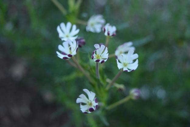 drought-plants-zaluzianskya-capensis-090716-73