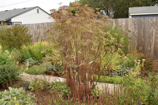 drought-plants-fennel-090716-67