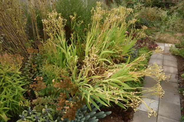drought-plants-iris-norrisii-090716-4