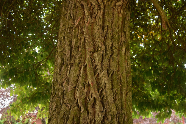 sassafras-tree-bark-092216-48