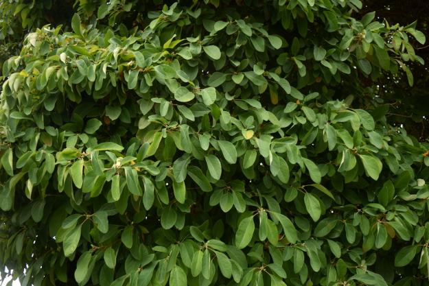 sassafras-tree-foliage-ovals-092216-5