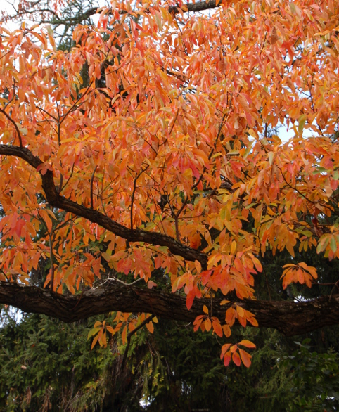 sassafras-tree-orange-fall-color2-100811-465