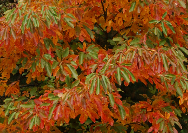 sassafras-tree-orange-green-fall-color-100811-467