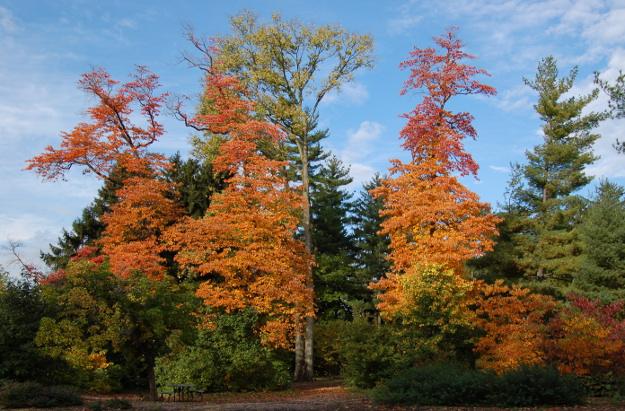 sassafras-tree-spring-grove-2014-102014-002