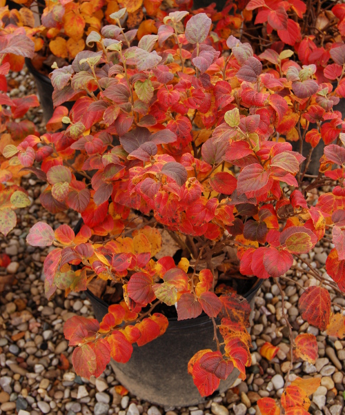 Fothergilla 'Blue Shadow' erupts in fall. You can still see a bit of blue sheen to a few of the leaves.
