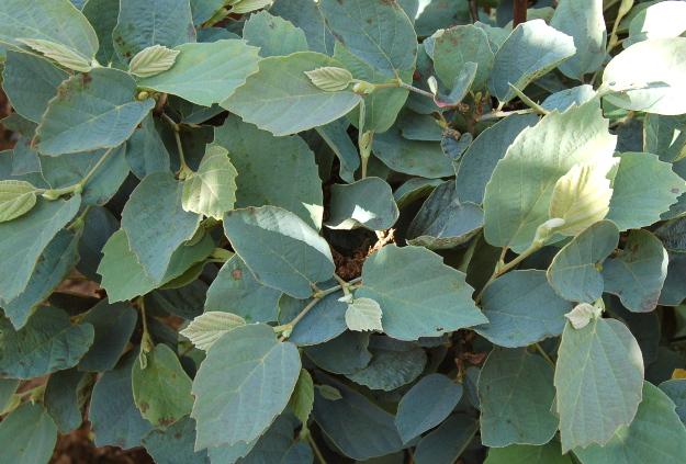 fothergilla-blue-shadow-summer-foliage-070314-106