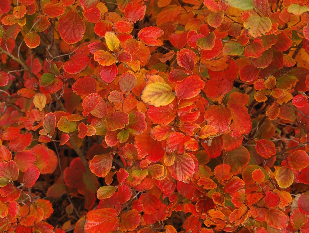 fothergilla-fall-color-red-scorch-103011-132