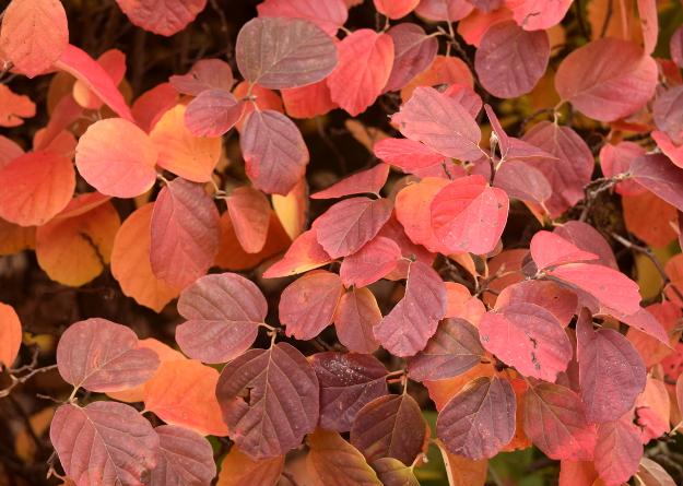 fothergilla-gardenii-fall-color-closeup-100616-342