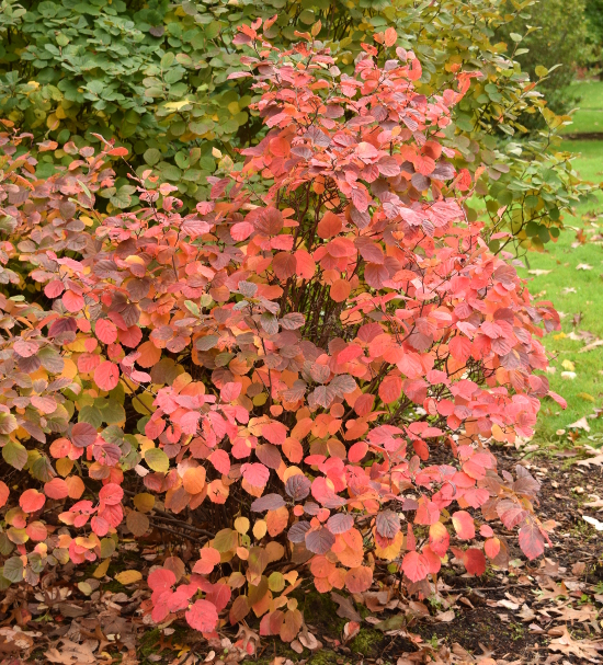fothergilla-gardenii-fall-color-whole-plant-100616-332