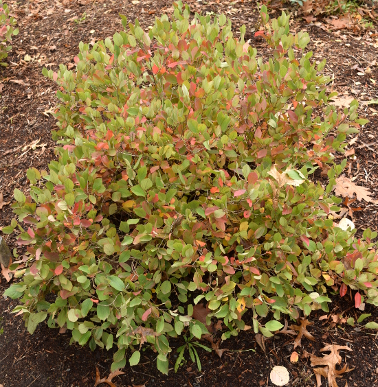 Fothergilla gardenii 'Jane Platt' gets only 2 ft. tall and 2 ft. wide.