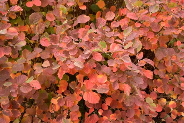 fothergilla-mt-airy-fall-color-hoyt-369