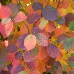Fothergilla Fall Foliage Fiesta