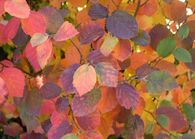 fothergilla-noid-fall-color-fiesta-101016-237