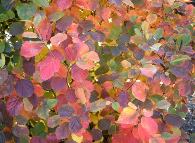 fothergilla-noid-fall-color-rainbow-101016-254