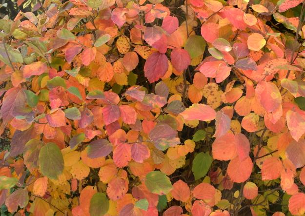 fothergilla-noid-fall-color-wbg-101016-215
